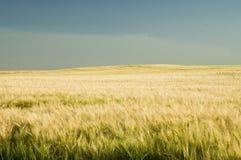 Ripe golden wheat 5. Ripe golden wheat or barley field Stock Photos
