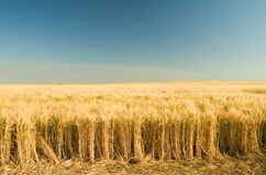 Ripe golden wheat 7 Royalty Free Stock Photo