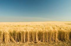 Ripe golden wheat 7. Ripe golden wheat or barley field Royalty Free Stock Photo
