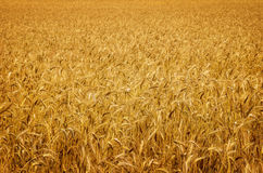 Ripe golden wheat Stock Images