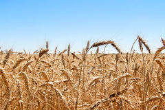 Ripe golden wheat isolated on sky Stock Image