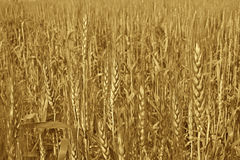 Ripe Golden Wheat  ready for harvest. Golden Wheat ready for harvest in North India Stock Photo