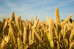 Ripe golden wheat spikes Stock Image