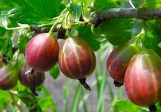 Ripe gooseberries Stock Images
