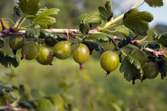 Ripe gooseberries on  branch Royalty Free Stock Photography
