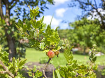 Ripe gooseberries on the branch. Royalty Free Stock Photography