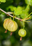 Ripe gooseberries and camouflaged caterpillar Stock Image