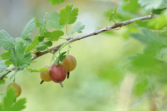 Ripe gooseberries Royalty Free Stock Photos