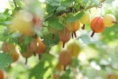Ripe gooseberries Royalty Free Stock Image