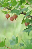 Ripe gooseberries Royalty Free Stock Photography