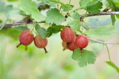 Ripe gooseberries Royalty Free Stock Photography