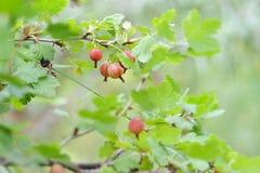 Ripe gooseberries Stock Photos