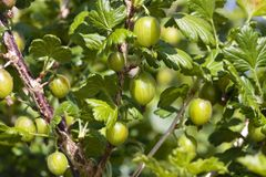 Ripe Gooseberries shrub in summer Stock Images