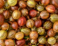 Ripe gooseberry, background. The view of the top. Ripe gooseberry close-up, background. The view of the top royalty free stock photography