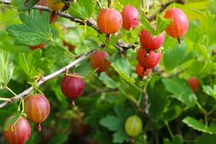 Gooseberry ripens on a branch, agriculture stock photos