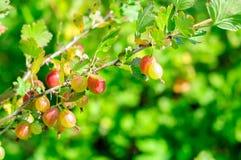 Ripe gooseberry on branch Stock Photo