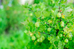 Ripe gooseberry on branch Royalty Free Stock Images