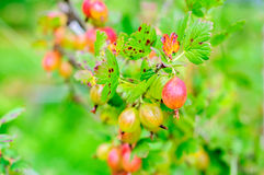 Ripe gooseberry on branch Stock Photography