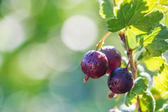 Ripe gooseberry on branch in garden close. View of a ripe gooseberry on a branch of gooseberries in the garden. Close-up of gooseberry berries hanging on a royalty free stock images