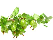 Ripe gooseberry on branch. Isolated. Royalty Free Stock Image