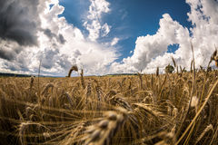 Ripe grain Stock Images