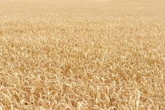 Ripe grain field detail Royalty Free Stock Images