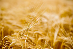 Ripe grain in the fields Royalty Free Stock Image