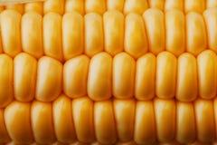 Ripe grains of golden corn closeup, harvest season, healthy organic nutrition of the ear of corn. Vegetarian food golden textural. Wallpaper, abstract royalty free stock photo