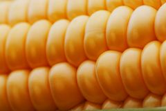 Ripe grains of golden corn closeup, harvest season, healthy organic nutrition of the ear of corn. Vegetarian food golden textural. Wallpaper, abstract royalty free stock image