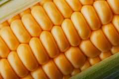 Ripe grains of golden corn closeup, harvest season, healthy organic nutrition of the ear of corn. Vegetarian food golden textural. Wallpaper, abstract stock images