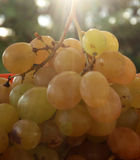 Ripe grape against sunset Royalty Free Stock Photography