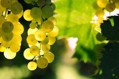 Ripe grape Royalty Free Stock Photos