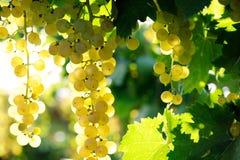 Ripe grape Stock Images