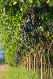 Ripe grape bunches Stock Images