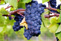 Ripe Grape Cluster Stock Photos
