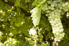 Ripe grape cluster in a vine Royalty Free Stock Photography