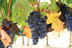Ripe grape clusters royalty free stock photo