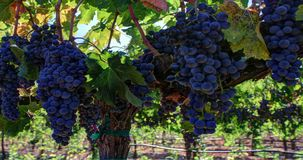 Ripe Grape Clusters on the Vine stock video footage