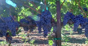 Ripe Grape Clusters on the Vine stock footage