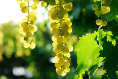 Ripe grape Royalty Free Stock Photography