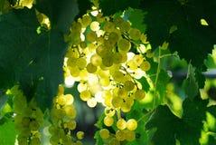 Ripe grape Stock Image