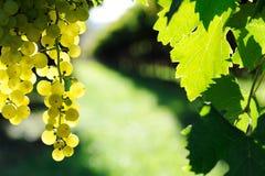 Ripe grape Stock Photos