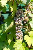 Ripe grape grapes ready to harvest in summer from plant. Hanging down Royalty Free Stock Photography
