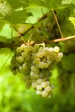 Ripe grape before harvest Stock Photos