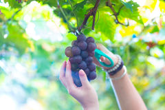Ripe grape Stock Photo
