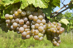 Ripe grape in sunshine. Beautiful ripe grape in sunshine Stock Image