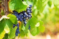Ripe grape under hot Italian sun Royalty Free Stock Photo