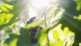 Ripe grape of vine plant in sunshine