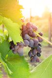 Ripe Grape on vine in sunrise Royalty Free Stock Photos