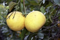 Ripe Grapefruit on a Fruit Tree. Fresh Grapefruit hanging on a fruit tree stock images